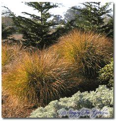 Stipa arundinacea -- Pheasant Tail Grass