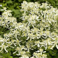 Welcome your house guests with Sweet Autumn Clematis. This sweet climbing vine is fragrant and perfect in floral arrangements! (zones 4-9)