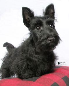 Scottie puppy.                                                                                                                                                                                 More