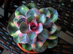 Echeveria Rainbow ( Perle von Nürnberg variegata)