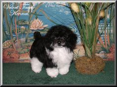 Teacup Poodle Puppy- same breeder Emily came from!!