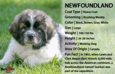 Lancaster Puppies pairs Newfoundland dog breeders with great people like you! Find your Newfoundland dog for sale here! Puppies For Sale, Cute Puppies, Fun Facts About Canada, Newfoundland Puppies, Types Of Coats, Lancaster Puppies, Dog Area, Dog Facts, Gentle Giant