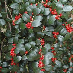 Ilex aquifolium 'J.C. Van'Tol' - Houx commun femelle non piquant - Houx autofertile