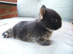 Netherland Dwarf Bunny// @Liz Lindamood please ask Colin if we can get one of these!!!