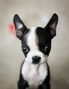 Boston terrier puppy.  Cute!