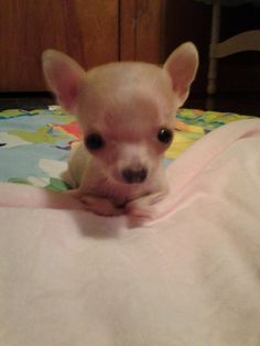 Help Itsy the Chihuahua to Get Some Wheels | Medical Expenses - YouCaring