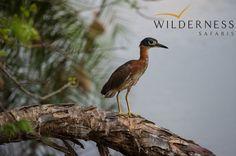 Birding with Wilderness Safaris - White-backed night-heron