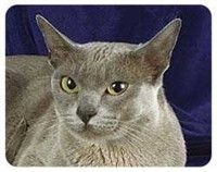 Burmese Cat Coasters: Nothing beats the exceptional look and quality of our Burmese Cat Coasters.… #PetProducts #PetGifts #AnimalJewelry