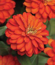 33 best GARDEN: ZINNIAS images on Pinterest | Potager garden ... Zinnia Garden Pot Designs Html on