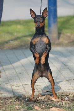 chipin dogs ..A mix between miniature pinscher  and chihuahua...