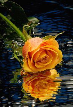 rose et son reflet sur l'eau