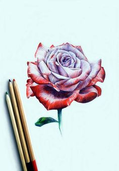 Color Pencil Drawing Giving Life To Your Pencil Art : 45 Realistic Drawings - So, giving life to your pencil art means to achieve an eye-pleasing masterpiece that looks like something extremely beautiful. Here's a collection of the Pencil Drawings Of Flowers, Cool Drawings, Drawing Flowers, Plant Drawing, Painting & Drawing, Drawing Drawing, Realistic Rose Drawing, Red Rose Drawing, Colour Drawing