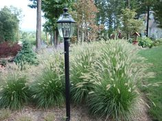 Hameln Dwarf Fountain Grass!  Used it at old house and loved it.  Requires cutting down before snow falls but is worth the maintenance..