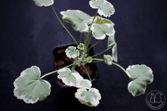 Oravankesäpesä | Koristelehtinen Pelargonium 'Madame Salleron'
