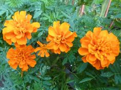 Growing the best Marigolds