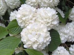 Hydrangea Care - Guide for Growing Hydrangeas Indoors White Hydrangea, Viburnum, Plants, Hydrangea Care, Spring Blooming Flowers, Beautiful Flowers, Flowers, Flower Lover, Garden Flowers Perennials