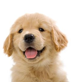 Happy 7 Week old Golden Retriever puppy on white background Cute Baby Dogs, Cute Dogs And Puppies, Cute Baby Animals, I Love Dogs, Puppy Love, Doggies, Retriever Puppy, Dogs Golden Retriever, Golden Retrievers