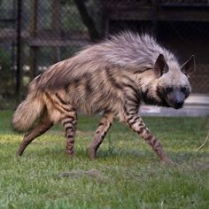 It's Jelani's cousin! This is Penny and she's a Striped Hyena. These are some pics and videos I took of her while… Unusual Animals, Majestic Animals, Rare Animals, Animals Beautiful, Animals And Pets, Funny Animals, Strange Animals, Striped Hyena, African Wild Dog