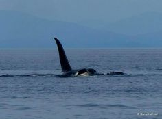 "Beautiful dorsal fin......the proud ""flag"" of orca freedom."