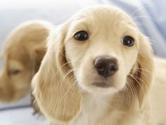 Blonde Dachshund...basically Dachshunds. But this one reminds me of Falcore from The Neverending Story.