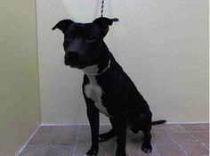 URGENT - Manhattan Center    BUCHINO - A0988508    MALE, BLACK / WHITE, PIT BULL, 6 yrs  OWNER SUR - EVALUATE, NO HOLD  Reason MOVE2PRIVA   Intake condition NONE Intake Date 12/30/2013, From NY 10025, DueOut Date 12/30/2013 https://www.facebook.com/photo.php?fbid=734290579917157&set=pb.152876678058553.-2207520000.1388586779.&type=3&theater