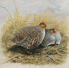 dick twinney artist   The Art of Dick Twinney - Cornish Wildlife Artist
