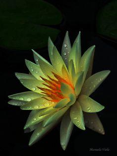 Water lily By Manuela Viola