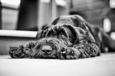 A schnauzer! Black Schnauzer, Giant Schnauzer, Beautiful Dogs, Animals Beautiful, Cute Animals, Schnauzer Grooming, Cow Pictures, Dog Rules, Dog Photos