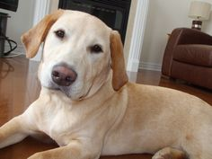 Archie, Luxury Lifestyle, Labrador Retriever, Friends, Dogs, Animals, Labrador Retrievers, Animales, Amigos