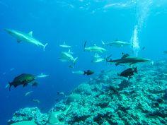 Dive Micronesia, Manta Ray and Shark Sanctuary Diving, Yap Island