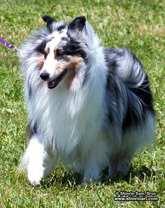 Shetland Sheepdog--looks just like Cossie (Picasso), a sheltie my husband owned when we got married. Shetland Sheepdog Puppies, Herding Dogs, Sheltie, Dog Photography, Beautiful Dogs, Dog Life, Pet Birds, Best Dogs, Dog Breeds