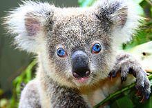 Australian Koala Foundation Frankie de enigste koala met blauwe ogen