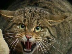 Felis silvestris gatto selvatico