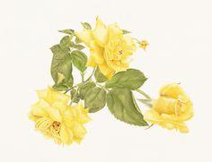 Immagine di http://1.bp.blogspot.com/-FNOUh3OlL5M/Tt5Sgt2bKuI/AAAAAAAAAiM/Xj9y3EBXvBU/s1600/Julie+Weihe_Three+Yellow+Roses+Sept+2011.jpg.