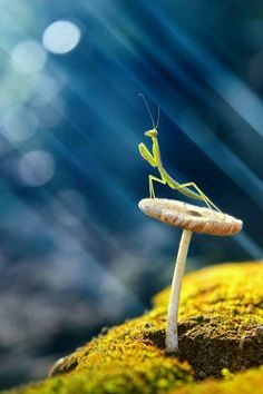 Mushroom: Photograph Praying Mantis by budi. Praying Mantis sat on mushroom basking in the sunshine. Beautiful Creatures, Animals Beautiful, Cute Animals, Unique Animals, Beautiful Bugs, Amazing Nature, Foto Macro, A Bug's Life, Praying Mantis