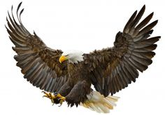 Illustration about Bald eagle swoop landing hand draw on white background vector illustration. Illustration of attack, claw, winged - 76976059 Eagle Images, Eagle Pictures, Tribal Sleeve Tattoos, Feather Tattoos, Wing Tattoos, Tatoos, Beautiful Artwork, Beautiful Birds, Nicolas Vanier