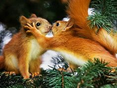 Super Cute Animals Showing Affection is part of Animals kissing Please, can it be animal cuddle time Yes! If you love animals, you will love animals loving on each other - Cute Animals Kissing, Super Cute Animals, Adorable Animals, Baby Squirrel, Red Squirrel, Squirrel Memes, Secret Squirrel, Animals And Pets, Baby Animals