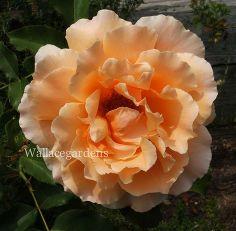 organic edible flowers, flowers, gardening, Rose Petals