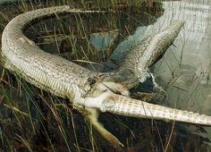 this is a ruptured 4 meter burmese python with a dead alligator poking out!
