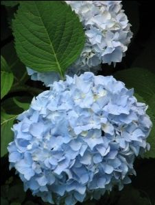 how to grow a hydrangea indoors (and not kill it...)