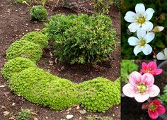 saxifraga arendsii - Google Search Rockfoil, Mossy Saxifrage 'Purple Robe' and white