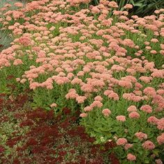 Versatile sedums fit the bill whether you're building a green roof or landscaping a rock garden.