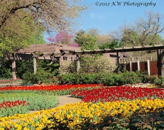 Tulips at Botanica Gardens- Wichita Kansas.