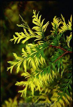 Kigi Nursery - Thuja plicata ' Zebrina Extra Gold ' Golden Western Red Cedar, $25.00 (http://www.kiginursery.com/cedars/copy-of-thuja-plicata-grune-kugel-dwarf-western-red-cedar-1/)