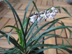 Офиопогон ябуран имеет экзотическое имя и артистическую внешность. Это многолетнее травянистое корневищное растение с вечнозелеными, прикорневыми, линейными, длинными, узкими листьями с зелеными и желтыми полосами и белыми цветами, похожим на ландыши. Существуют гибриды с фиолетовыми цветами, формы с листьями в белую или желтую полоску.