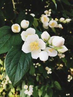 Japanese Anemone  #japaneseanemone #flowers #flowertree #whiteflower #flowerphotography