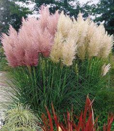 Пампасная трава – особенности посадки, ухода, зимовки