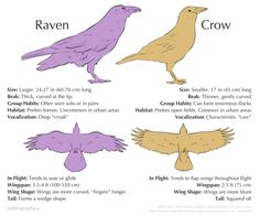 With these simple tools you, too, can be a pedant about corvids. Science Fact Friday: Raven or Crow? Raven Wings, Wings Drawing, Drawing Birds, Bird People, Raven Art, Crows Ravens, Animal Facts, You Draw, Creature Design
