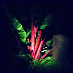 https://flic.kr/p/7WD86M | Waiter, there's a brick in my salad | Utata IP 98: Swiss chard plant with red stalks & brick shot outside at night in a vegetable garden illumination from a flashlight