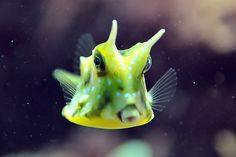 Cow fish ❤❤❤my favorite fish